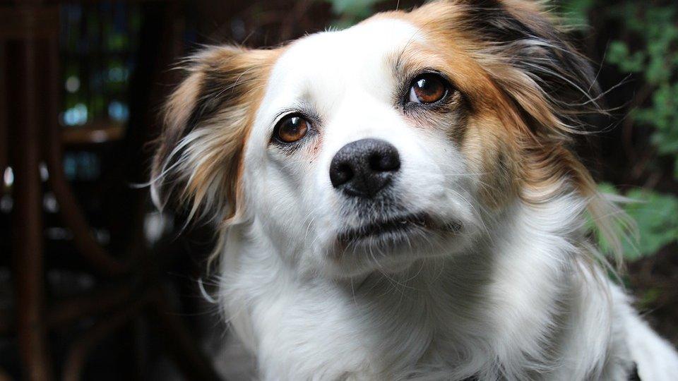 Na zdjęciu niewielki pies, biały z brązowymi uszami, patrzący prosto przed siebie - grafika artykułu