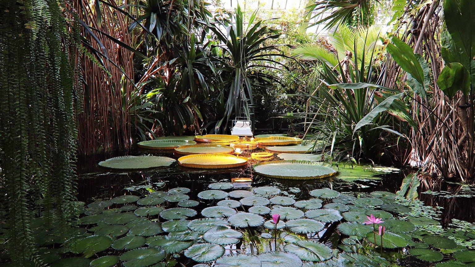 W centralnej części zdjęcia - oczko wodne w Palmiarni Poznańskiej. Z lewej i prawej strony otacza je egzotyczna zieleń. - grafika artykułu